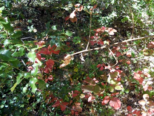 Independence Trail West poison oak