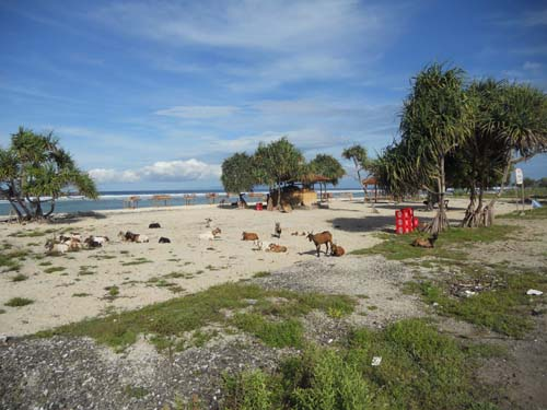 Bali gili goats on beach