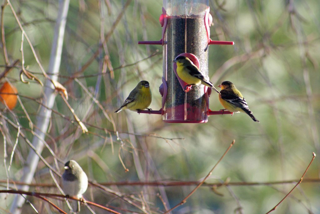 Birds are everywhere.  These are Lesser Goldfinches.