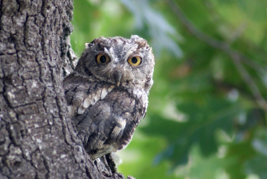 Practically one of the family, Hootie lives in a tree in the back yard.