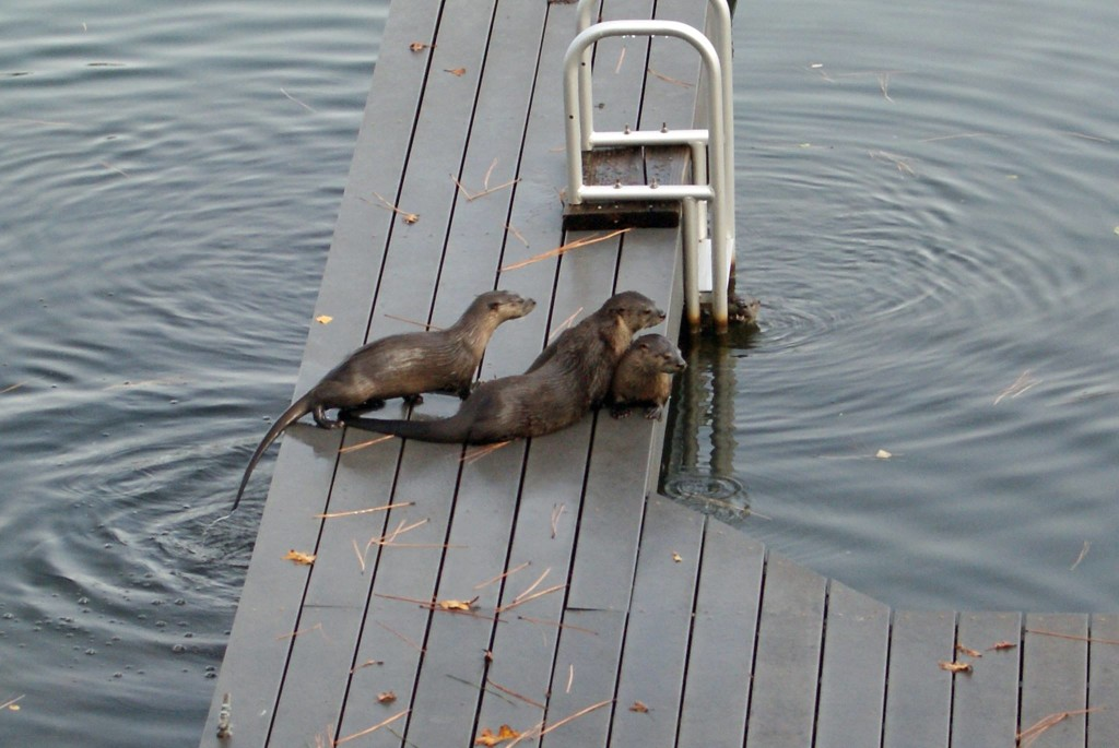 A family of otters play on the dock.